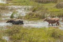 Массы индийского буйвола Стоковые Фотографии RF