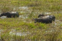 Массы индийского буйвола Стоковое фото RF