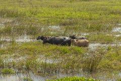 Массы индийского буйвола Стоковые Изображения RF