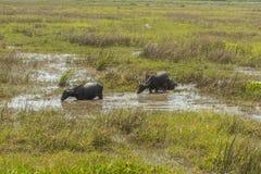 Массы индийского буйвола Стоковая Фотография RF