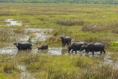 Массы индийского буйвола Стоковое Фото