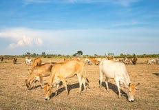 Массы коровы есть траву в поле Стоковые Изображения