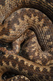 Масштабы змейки Стоковые Фото