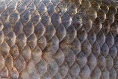 Масштабы карпа Crucian, естественная текстура Стоковые Изображения