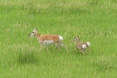 Мать антилопы Pronghorn с младенцами Стоковые Изображения