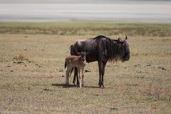 Мать антилопы гну со своим ребенк стоковое фото
