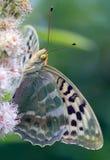 Мать бабочки жемчуга Стоковая Фотография