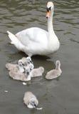 Мать безгласного лебедя наблюдая близко на ее молодом лебеде 6 пока они пробуют подать на хлебе шелушится Стоковая Фотография RF