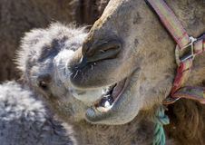 мать верблюда младенца Стоковая Фотография RF