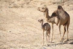 мать верблюда младенца Стоковые Фото