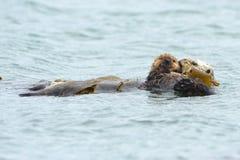 Мать выдры моря с младенцем в келпе, большом sur, Калифорнии Стоковые Изображения RF