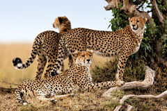 Мать гепарда и 2 детеныша одни, Masai Mara Стоковые Изображения