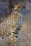 мать гепарда Стоковая Фотография RF
