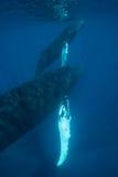 Мать горбатого кита и торцовка икры Стоковое Изображение