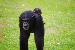 Мать гориллы нося ребенка Стоковая Фотография
