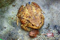 Мать жабы, ребенок Стоковые Фото