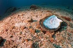 Мать жемчугов в ландшафте рифа красочном подводном Стоковое Изображение RF
