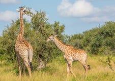 Мать жирафа с ребенком на национальном парке Kruger Стоковое фото RF
