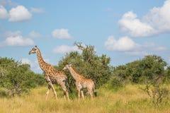 Мать жирафа с ребенком на национальном парке Kruger Стоковое Изображение RF