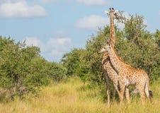 Мать жирафа с ребенком на национальном парке Kruger Стоковые Изображения