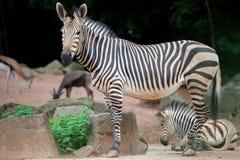 Мать зебры с молодой зеброй Стоковые Фотографии RF
