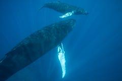 Мать и икра горбатого кита в открытом море Стоковое фото RF
