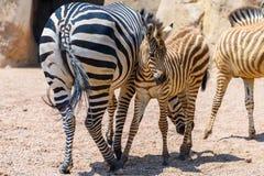 Мать и икра зебры в африканской саванне Стоковая Фотография RF