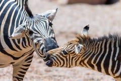Мать и икра зебры в африканской саванне Стоковые Изображения RF