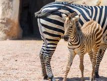 Мать и икра зебры в африканской саванне Стоковые Изображения