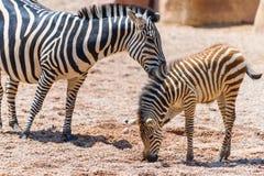 Мать и икра зебры в африканской саванне Стоковое Изображение RF