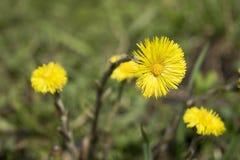 Мать-и-мачеха Wildflower весны Стоковые Изображения