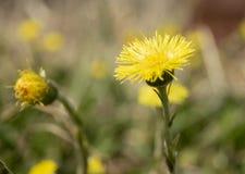 Мать-и-мачеха Wildflower весны Стоковое Изображение RF