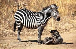 Мать и младенец зебры Стоковые Фото