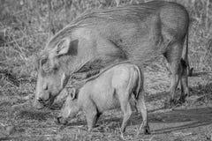 Мать и младенец Warthog есть траву Стоковые Изображения RF