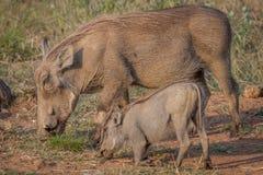 Мать и младенец Warthog есть траву Стоковое Изображение