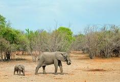 Мать и молодая икра слона идя через сухую саванну в южном национальном парке luangwa, Замбии Стоковые Изображения RF