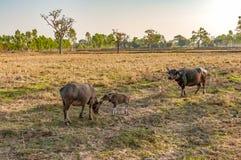 Мать и младенец индийского буйвола есть траву в поле страны Стоковая Фотография RF