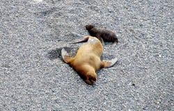Мать и младенец морсого льва Стоковая Фотография