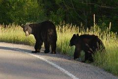 Мать и новичок черного медведя в национальном парке ледника стоковые фото