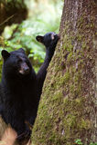 Мать и новичок черного медведя стоковое изображение