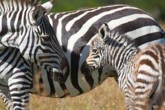 Мать и осленок зебры равнин Стоковое Изображение