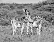 Мать и осленок зебры ` s Burchell Стоковые Изображения RF