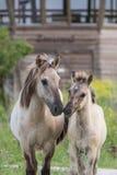 Мать и ребенок лошади Konik Стоковое Фото