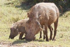 Мать и ребенок Warthog пася Стоковое Изображение