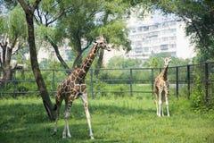 Мать и сын жирафа Стоковые Фотографии RF