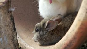 Мать и сын кроликов акции видеоматериалы