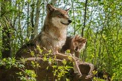 Мать и щенок серого волка (волчанки волка) сидят на утесе Стоковые Изображения RF