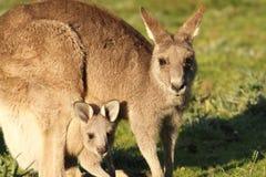 Мать и Cub кенгуру Стоковая Фотография