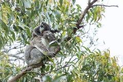 Мать коалы с любознательным младенцем Стоковое Фото