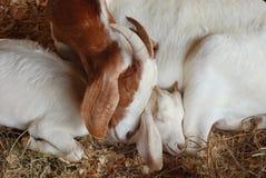 мать козочки младенца Стоковое Фото
